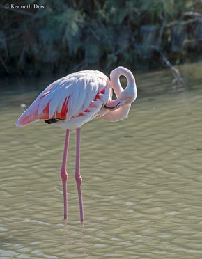 Un lamant rose se lisse ses plumes