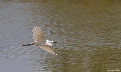 Little egret fly by
