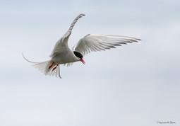 Tern approaching nest