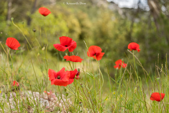 Coquelicots sauvages