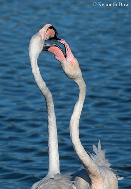 Flamingos brushing beaks