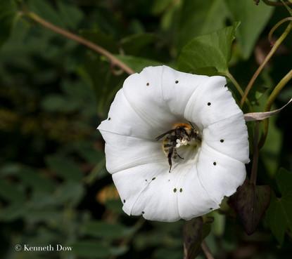 Convolvulus with pollinator