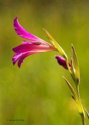 Gladiolus pallustris