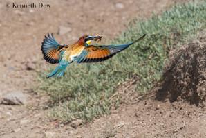 Bee-eater approaching nest burrow