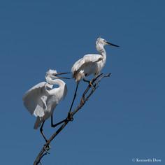 Juvenile little egrets