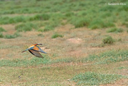 Bee-eater with prey in flight
