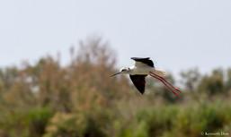 Flying black-winged stilt