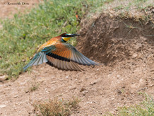 European bee-eater with prey