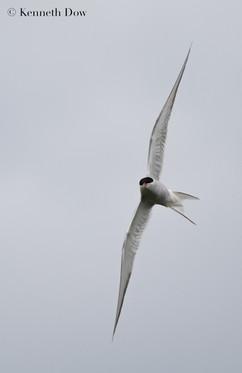 Banking tern