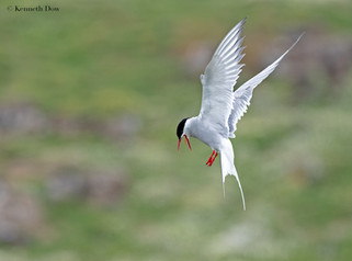 Angry arctic tern