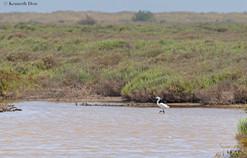 Little egret in lagoon