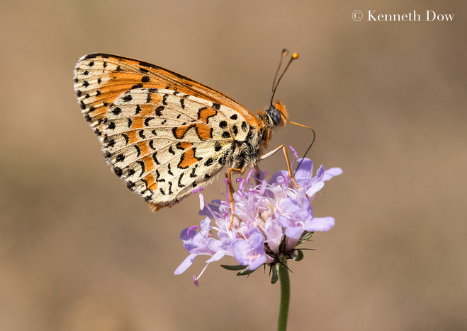 spotted fritillary nectaring