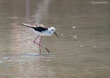 Wading black-winged stilt