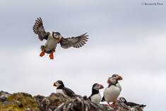 Puffin on short finals