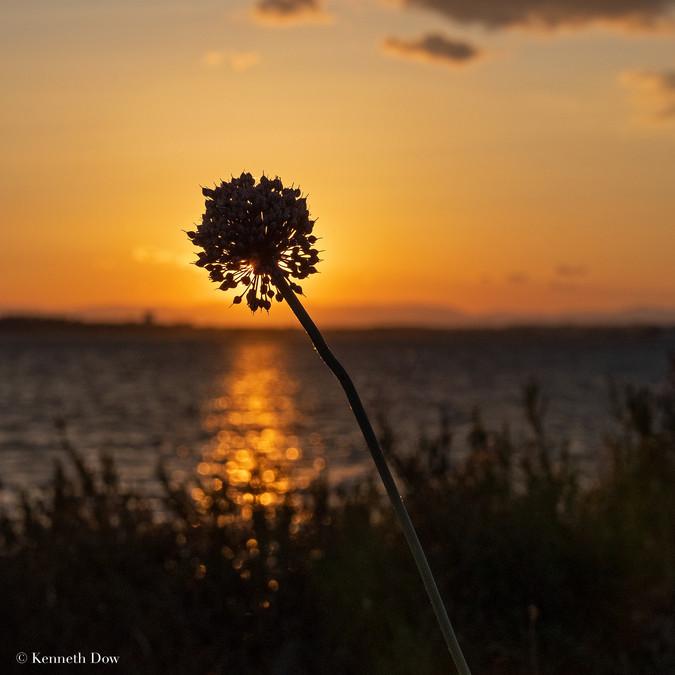 Wild Allium seed head