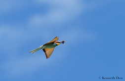 Flying bee-eater with prey
