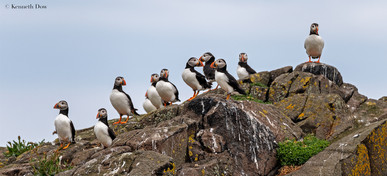 Puffin council meeting