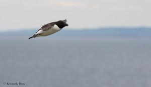Razonbill in flight
