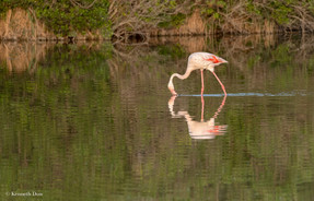 Flamant rose patagaueant