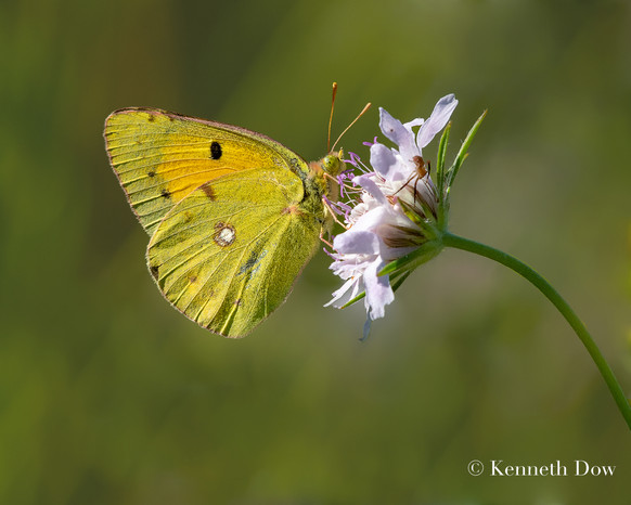 clouded yellow on scabious