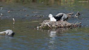 Échasse blanche et nid