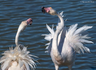 Debating flamingos