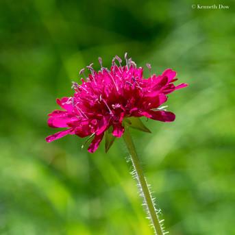 fleur scabieuse