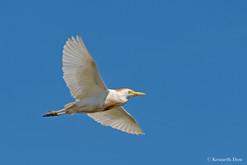 Flying cattle egret