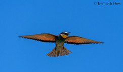 Soaring European Bee-eater