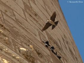 Hirondelle de rivage à Aigues-Mortes