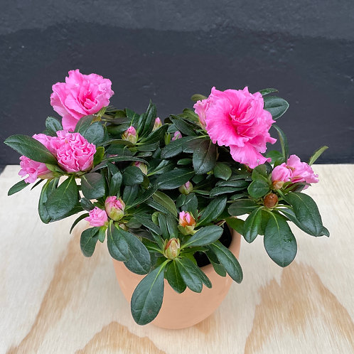 Mother's Day Plant in Terra-cotta pot  - Hilltop Coffee