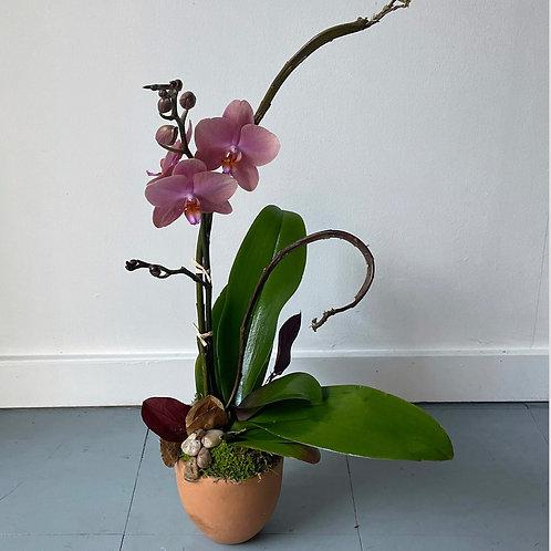 Orchid Plant in Terra-Cotta pot