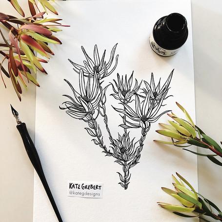 Leucadendron-ink-drawing-Sydney-Illustra