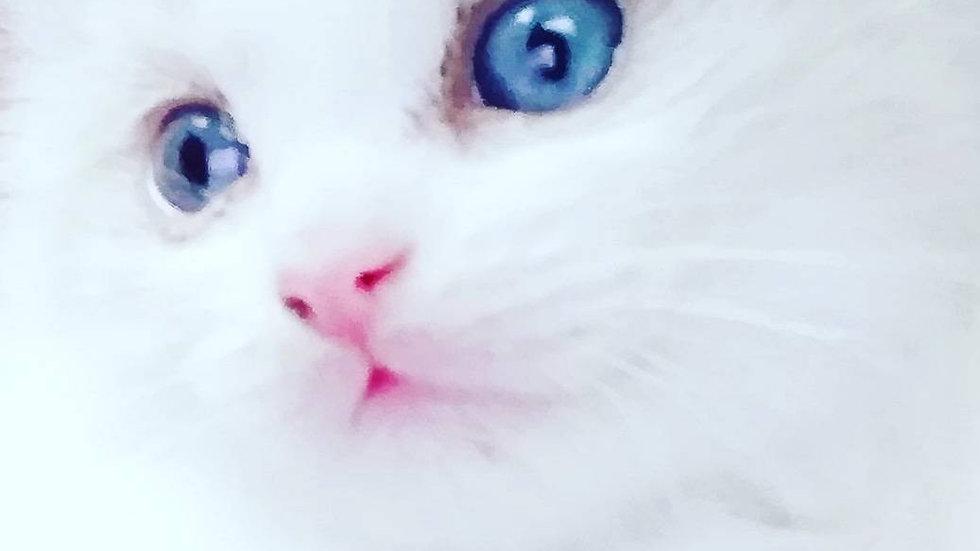 ラグドール(女の子)marin's cat101