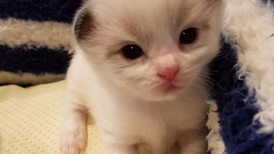 ラグドール(女の子)marin's cat202