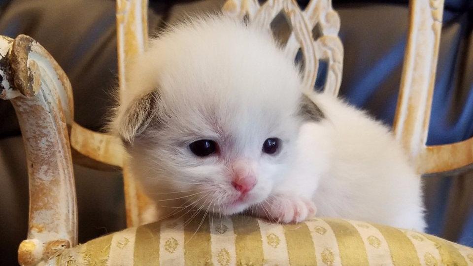 ラグドール(男の子)marin's cat201