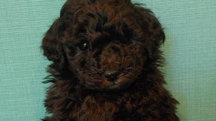 トイプードル(男の子)marin's dog201