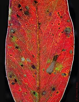 leaf small copyright.JPG