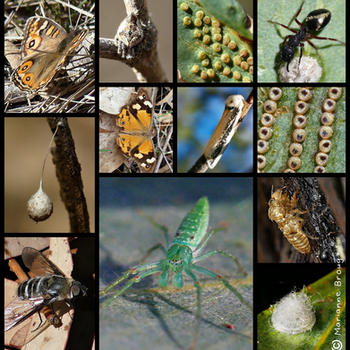 Insect species.