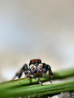 Spider Maratus griseum.JPG