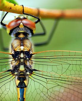 Dragonfly stunning 5.JPG