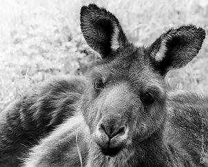 Kangaroo tired a small copyright.JPG