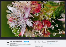 Flowering Fringe-myrtle after rain.