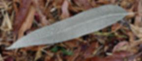 gum leaf.jpg