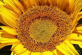 sunflower 2.JPG