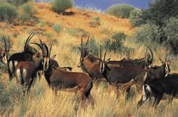 Roan herd At Tsawlu