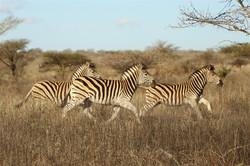Zebra - Thanda