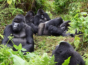 rwanda_mountain_gorillas_in_susa_group_i