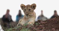 Lion - Thanda