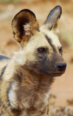 Wild dog At Tsawlu